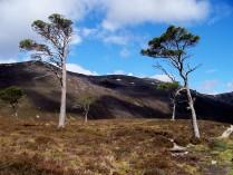 Scots pines in Glen Derry, in the Cairngorms
