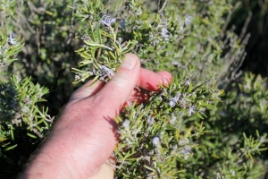 Rosemary growing wild at the side of the path