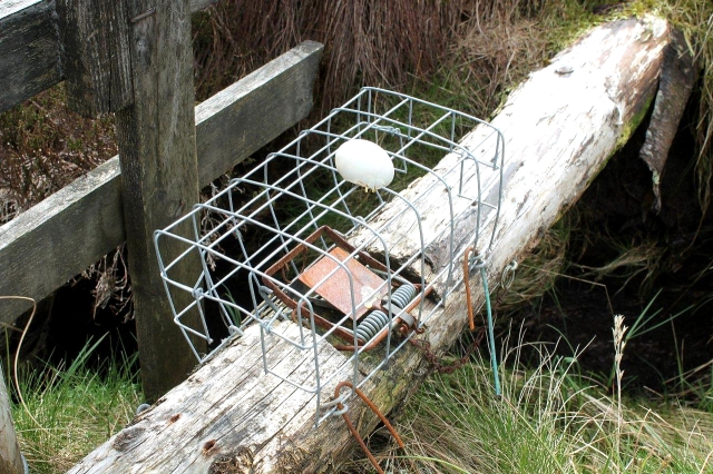 Traps like this are all over the place in this part of the Pennines. Their function is to kill predators that prey on grouse, so that rich people will have plenty of birds to blast out of the sky when the shooting season starts. I phtographed this one because it has an egg on it. We can but speculatee where the egg came from